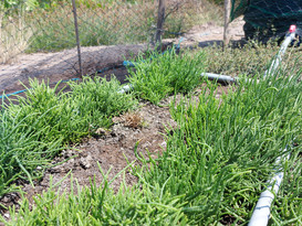 Turning an Abandoned Plot of Land into a Halophyte Garden