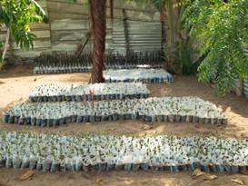 Planting Mangroves in Ghana - Mangrove Mania!