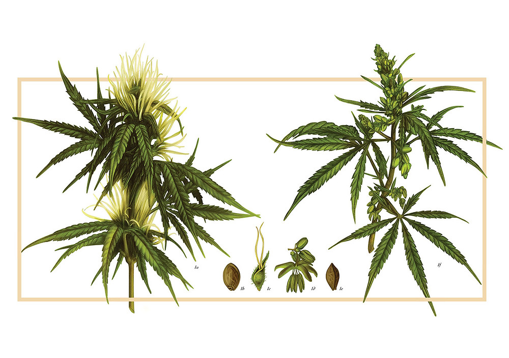 Botanical illustration of Cannabis plant