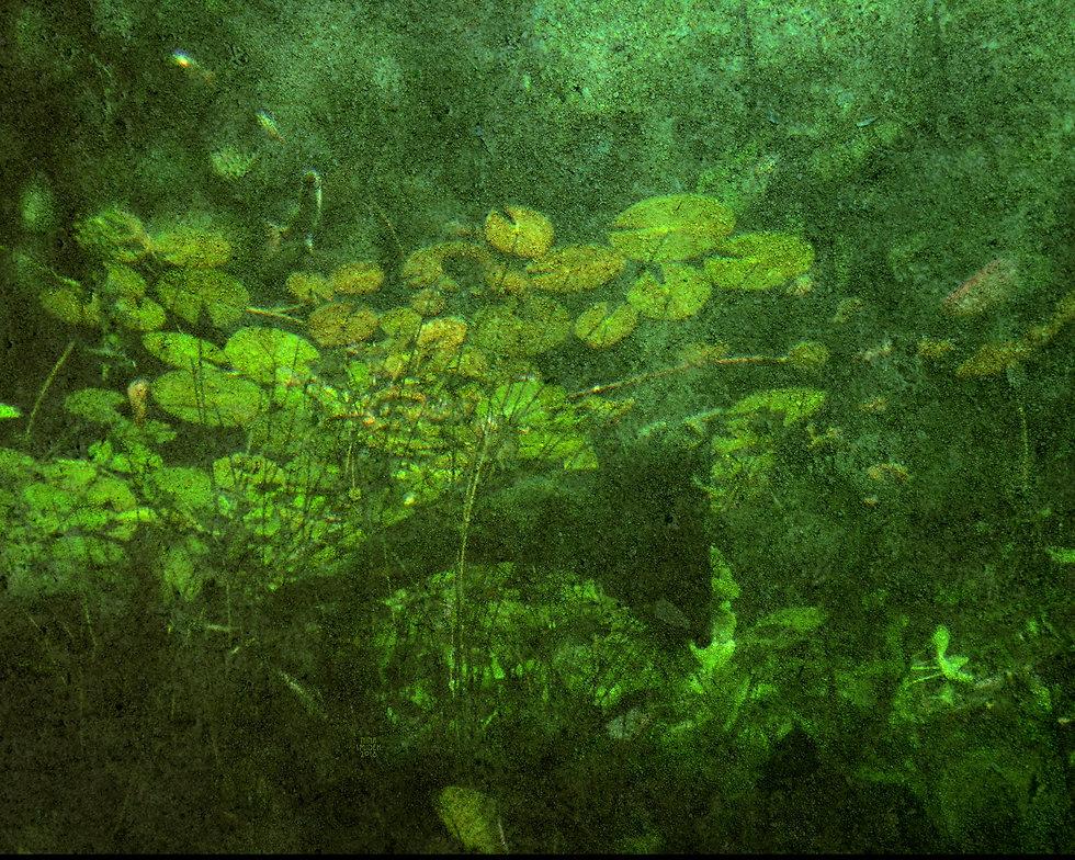 Lekníny pod vodou KOZO.jpg