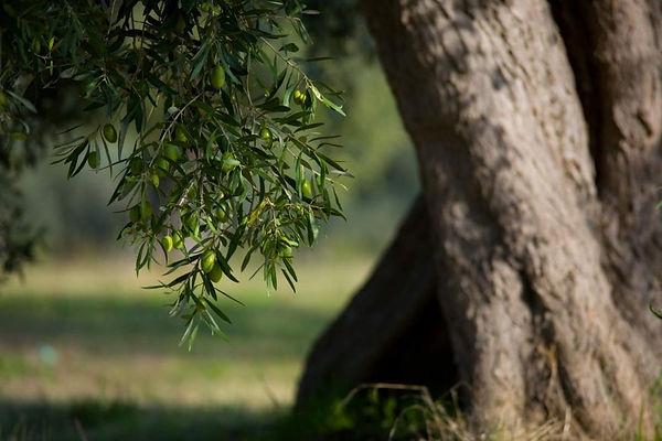 olivo-secolare-salerno-870x580.jpg