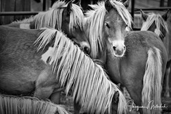 Our Young Ponies