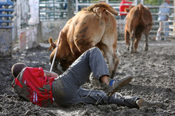 NOT the way to ride a cow