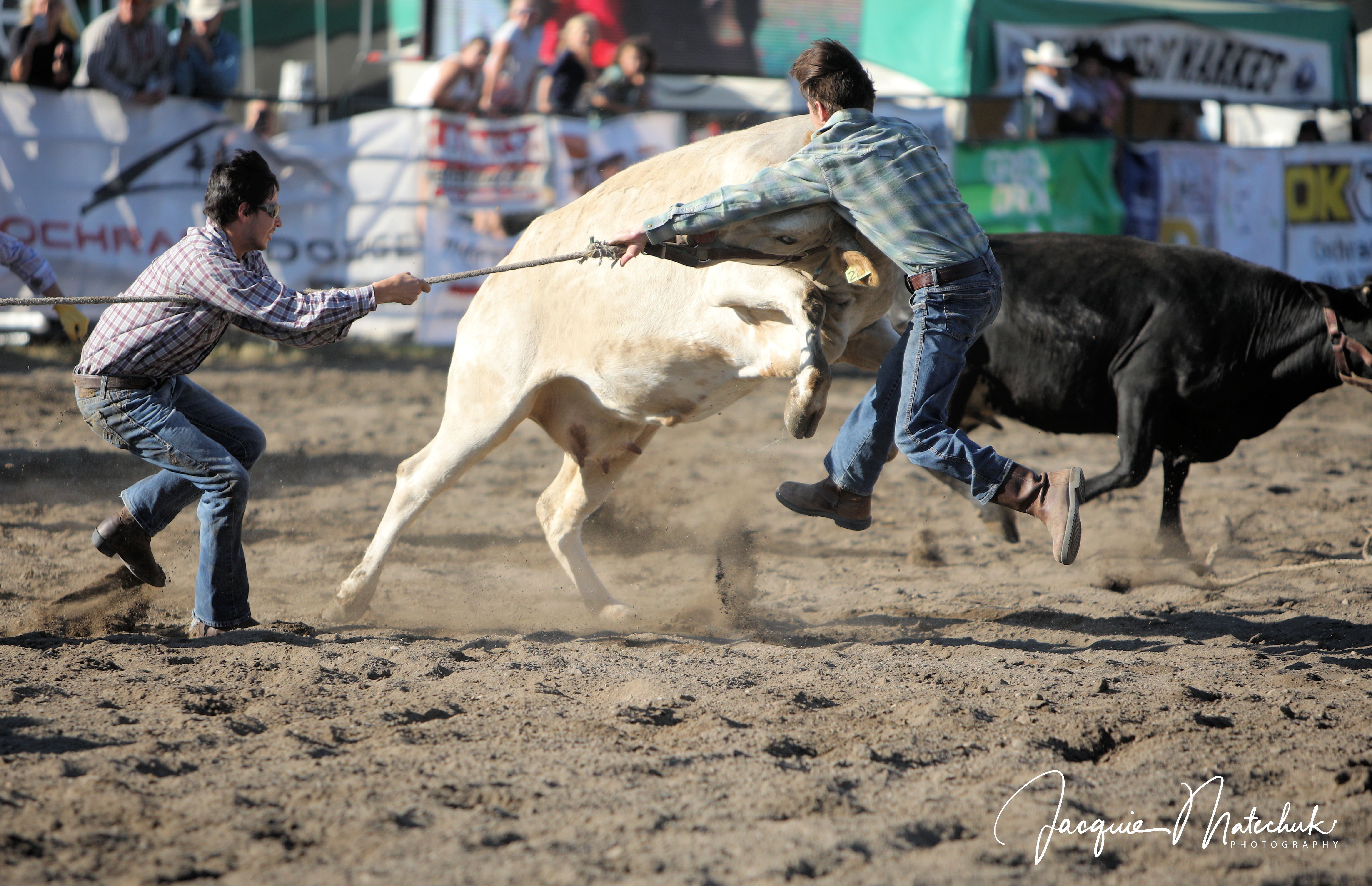 Wild Cow Races