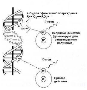 Механизмы повреждения ДНК