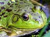 MOH_SPR_frog.jpg
