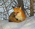 MOH_SPR_fox2.jpg