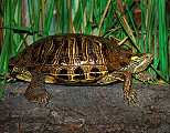 MOH_SPR_turtle.jpg