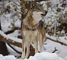MOH_SPR_wolf.jpg
