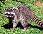 MOH_SPR_raccoon.jpg