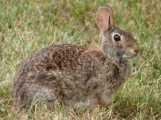 MOH_SPR_rabbit.jpg