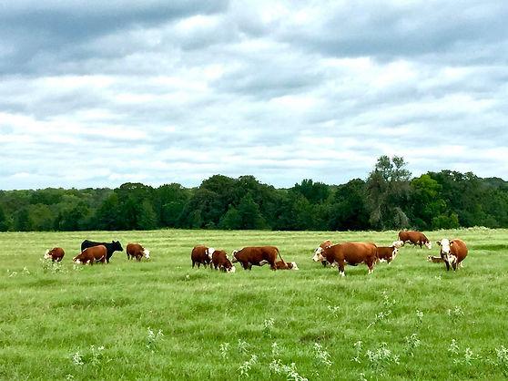 4C-Market-cattle.jpg