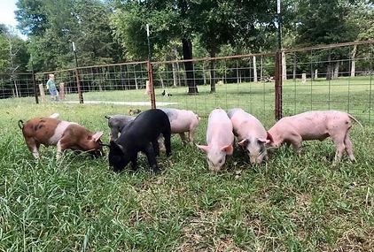 4C-Market-pigs.jpg