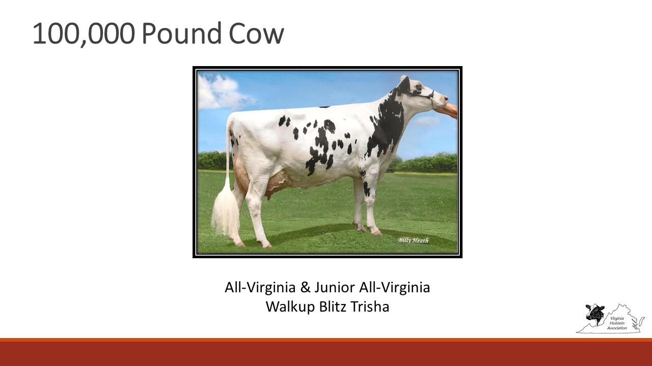 All-Virginia 100,00 Pound Cow