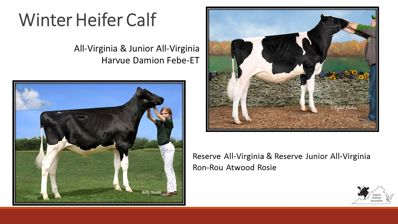 All-Virginia Winter Calf