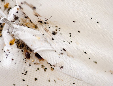 Nasty mattress infested with bed bugs