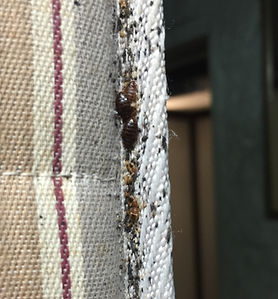 Nasty bed bugs living in mattress