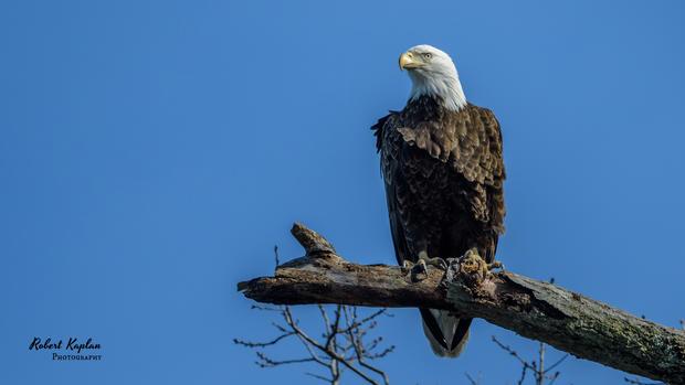 Bald Eagle-8695.jpg