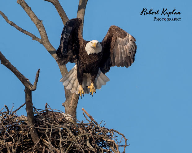 Bald Eagle Stick Removal-4739-2 (1).jpg