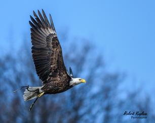Bald Eagle-8446.jpg