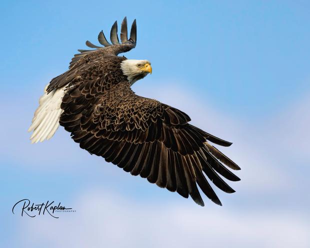 Eagle Over Blue Sky-Soft clouds-5119.jpg