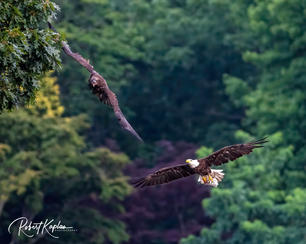 Eagle DeNoised_1573-.jpg
