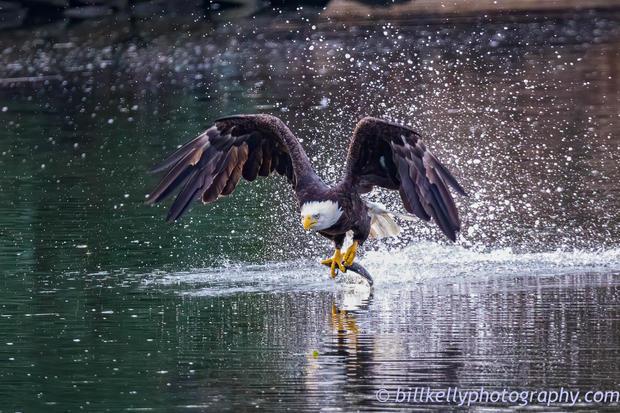 Eagles--4.jpg