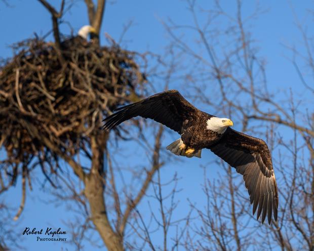 Bald Eagle-4750.jpg