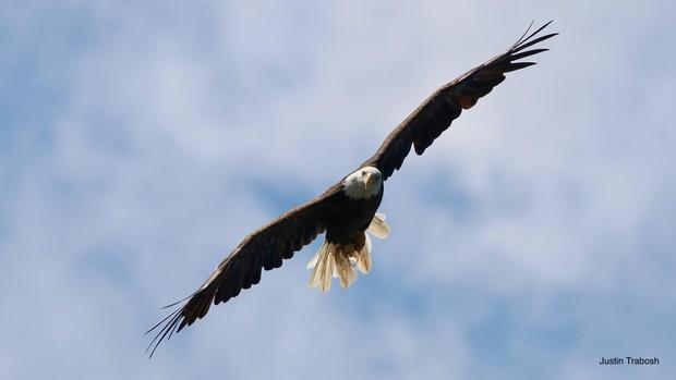Puffy Clouds Eagle
