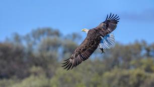 Bald Eagle Wallpaper-4288.jpg