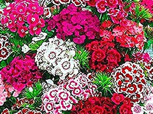 Dianthus Market Pack