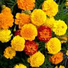 Marigold Market Pack