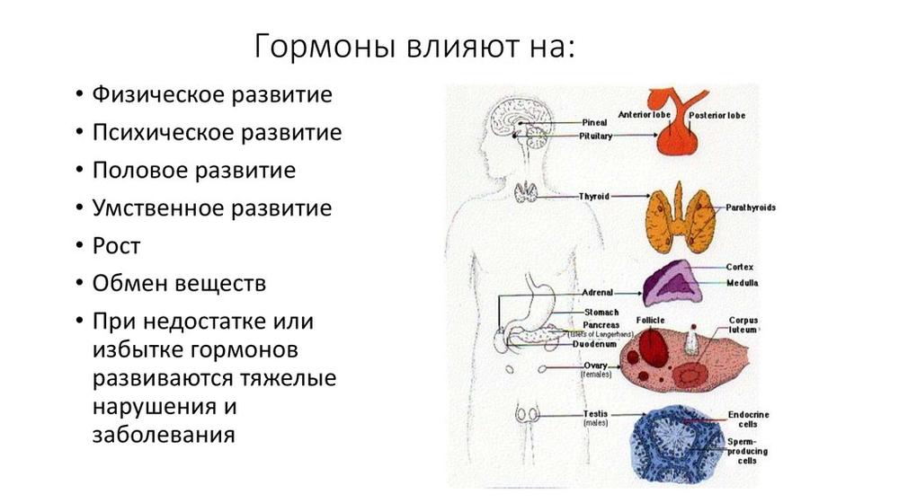 Простатит влияние гормонов польза или вред лука при простатите