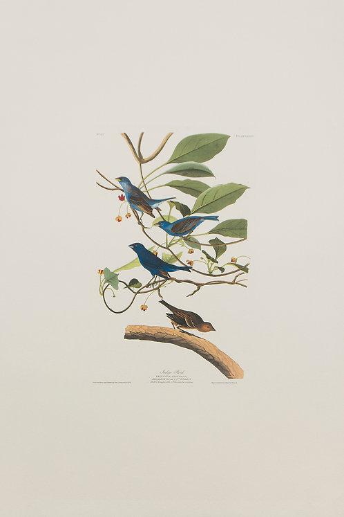 Indigo Bird Pl 74