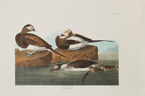 Long-Tailed Duck Pl 312