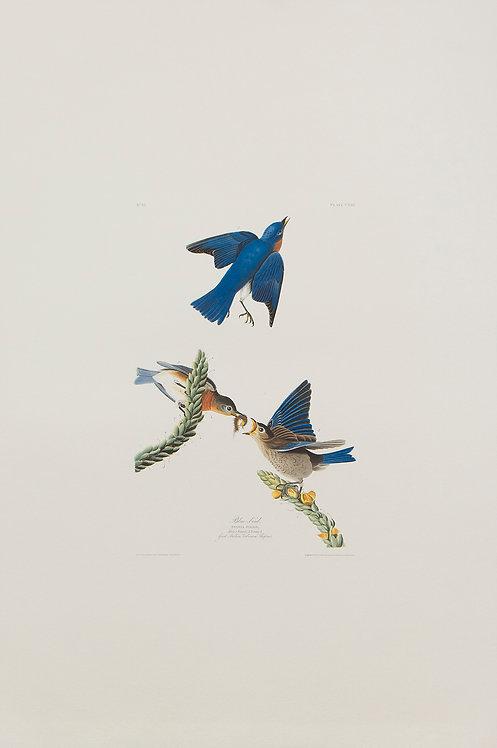 Blue Bird Pl 113