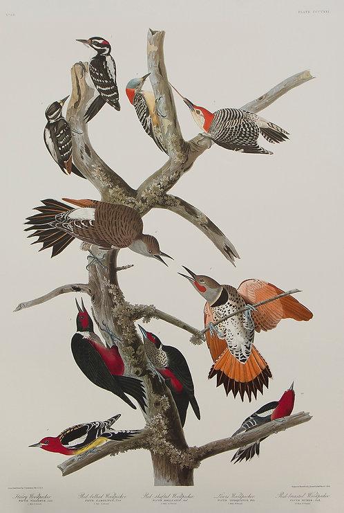 Ten Woodpeckers Pl 416