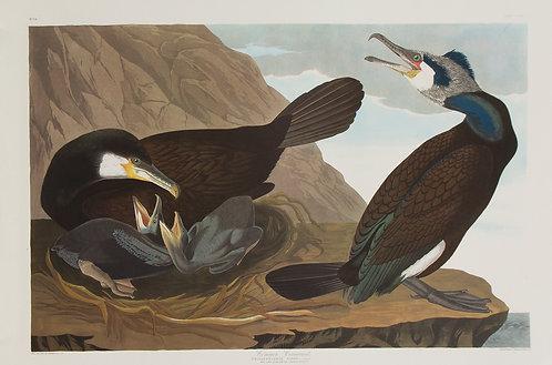 European Cormorant Pl 266
