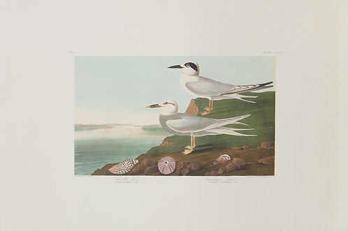 Forster's and Tudeau's Tern Pl 409