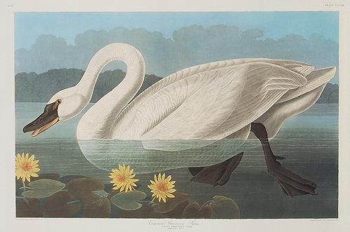 Common American Swan Pl 411