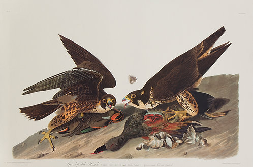 Great Footed Hawk Pl 16