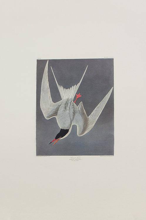 Common Tern Pl 309