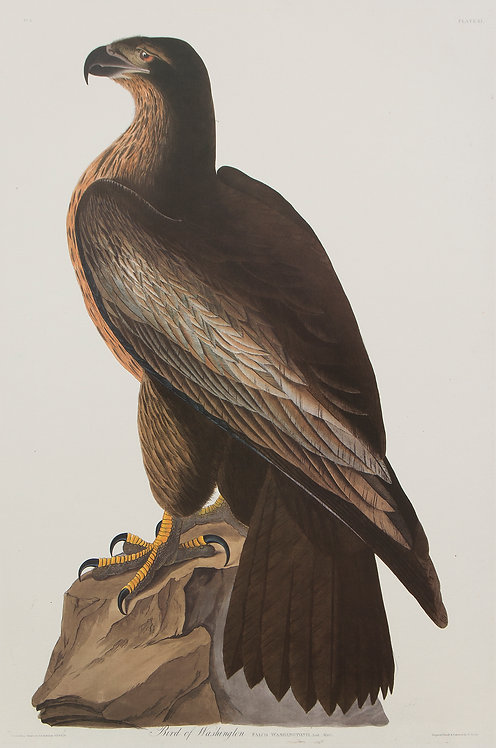 Bird of Washingtion Pl 11
