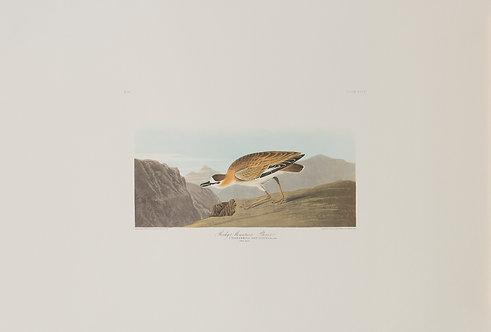 Mountain Plover Pl 350