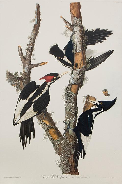 Ivory Billed Woodpecker Pl 66