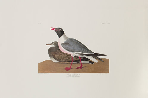 Laughing Gull Pl 314