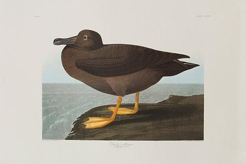 American Sooty Albatross Pl 407