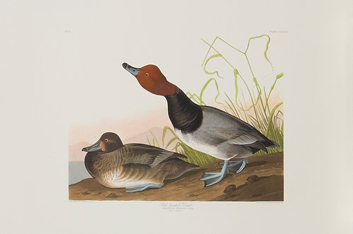 Redheaded Duck Pl 322