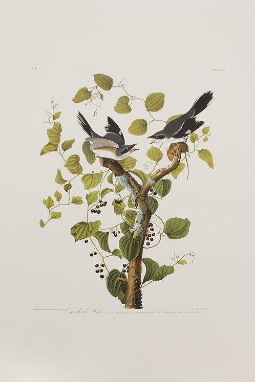 Loggerhead Shrike Pl 57