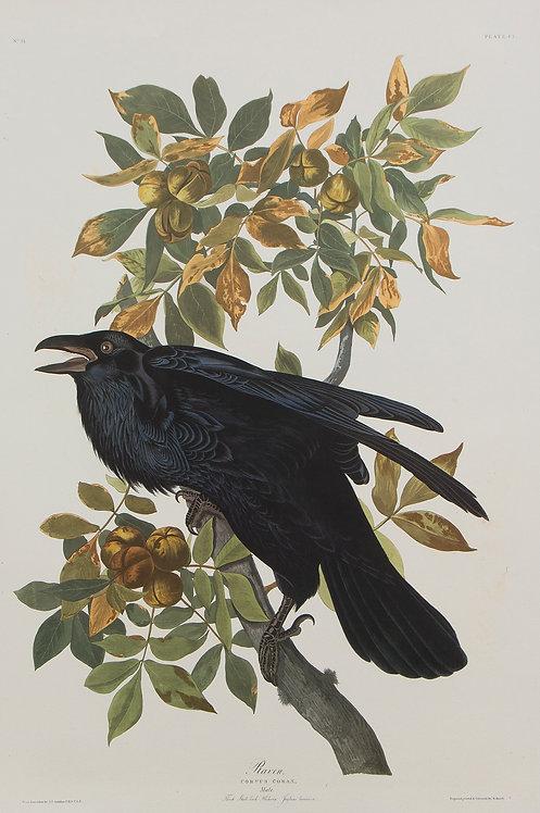 Raven Pl 101